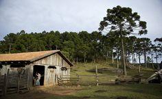 Árvore de pinhão  O corte de araucária foi proibido no Brasil em 2001. Na cidade catarinense de Painel, a topografia acidentada emperrou a agricultura e a pecuária intensivas e permitiu a volta da vegetação