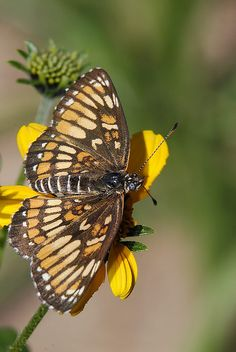 Theona Checkerspot(Chlosyne theona ). Distribution; Colombia north through Central America and Mexico to east-central Texas, southern New Mexico, and central Arizona.