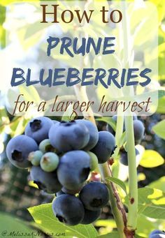 Want a larger harvest of blueberries? Learn how to prune blueberry plants for a larger harvest. Great step by step tutorial, plus love her tips for what to add to the soil. If you want to put in blueberries or already have them, you need to read this tutorial now.: