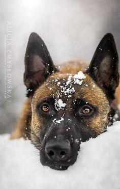Belgian Shepherd Dog in winter, snow by Alicja Zmyslowska Belgium Malinois, Belgian Malinois Dog, Malinois Puppies, Berger Malinois, Tiny Dog Breeds, Best Dog Breeds, Beautiful Dogs, Animals Beautiful, Cute Animals