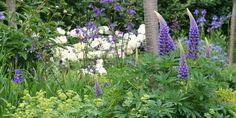 HAVEFOLKET: DE SKØNNE BLÅ Inspiration til staudebed med blå, blålilla, hvide og limegrønne farver til hele sæsonen. Bla lupiner, pæoner, iris, akelejer og diverse løg.