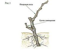 Обрезка винограда : ekozhuk