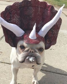 Bennie the triceratops, French Bulldog in costume