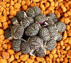 Conophytum Wittebergense mínimo mesembs raras exóticas piedras suculentas 15 SEMILLAS