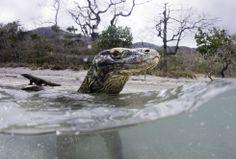 Dragón de Komodo en la isla Rinca, Parque Nacional Komodo (Indonesia). EL PAÍS