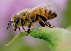 Our bees are in trouble but we can help with just 4 easy steps - one is NO PESTICIDES (or HERBICIDES) to toss the Roundup and Scott's Miracle Grow and create a healthy landscape you and the bees can love