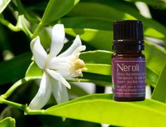 We want to tell you about the health benefits of Neroli Essential Oil can be attributed to its properties as an antidepressant, aphrodisiac, antiseptic, bactericidal, cordial, carminative, cicatrisant, cytophylactic, disinfectant, antispasmodic, deodorant, digestive, emollient, sedative and tonic substance.Neroli oil is yet another essential oil from a citrus fruit. Because of that fact, most of its medicinal properties match those of other citrus essential oils…