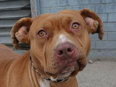 TO BE DESTROYED 1/4/14  Brooklyn Center  LALA - A0988066   FEMALE, TAN / WHITE, PIT BULL MIX, 3 yrs  STRAY - STRAY WAIT, NO HOLD Reason STRAY   Intake condition NONE Intake Date 12/23/2013, From NY 11355, DueOut Date 12/27/2013 ORIGINAL THREAD: https://www.facebook.com/photo.php?fbid=730134536999428&set=a.617941078218775.1073741869.152876678058553&type=3&theater