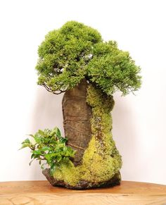 Shimpaku Juniper on a rock