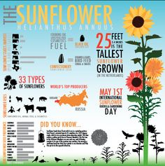 The Sunflower - Infographic