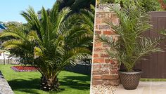 Buy 2 x Extra Large Canary Palm Trees with Gold Pots! UK deal for just: £29.99 Give your garden a tropical twist with 2 Large Canary Palm Trees      Distinctive, lush green foliage for holiday style at home.      Hardy exotic palm trees that will thrive in the UK weather      Plants are supplied ready to plant outside from April onward      Supplied at approximately 3ft tall      Ideal...