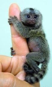 Resultado de imagen para monos titis pigmeos