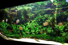 Planted Discus Aquarium