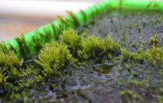 Vattenkrokmossan renar vatten från arsenik