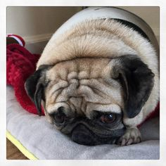 """It's hard being cute, eating, cuddles, and sleeping everyday for free. But, I'ms my own pug and must quit freeloading…soon. Psych!""  PugsleyLuigi  #pug #dog #free #cute #cuddles #sleep #eat #foodie #independent #psych #zen #joke #silly"