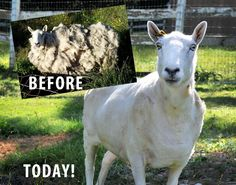Before Pasado's Safe Haven rescued Socrates, he hadn't been sheared for four long years...  http://www.pasadosafehaven.org/2012/07/a-special-sheep-finds-his-flock