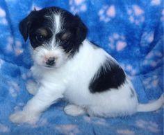 Cavachon Puppies 9 Weeks**Family Raised**