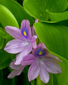 Water Hyacinth: Photo by Photographer Scott Reeves - photo.net