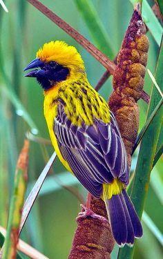Asian Golden Weaver Male. Yellow & blue bird.