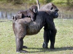 Mom isn't moving fast enough for gorilla jockey Kigali at the Breeze Zoo in Gulf Breeze, Fla. Photo: Devon Ravine, Associated Press