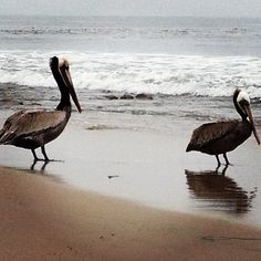 Pelicans  (my first siting was Punta Cana where they gracefully fished from above our heads)