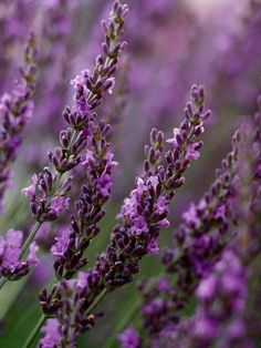 'Grosso' Lavender - Lavandula x Intermedia 'Grosso' bears violet blossoms on long, bright green stems that soar outward from silver foliage, creating a striking shrub in the garden. Zones 5-8.