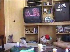 Pug Watching Television