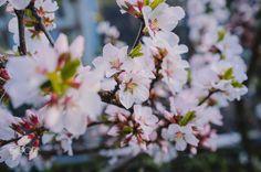 sunny cherry blossom - cherry flowers on a sunny day