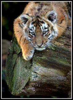 Siberian Tiger Cub 6 by Wolfy2k4