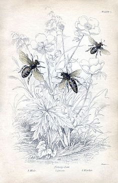 Instant Art Printable - Natural History - Honey Bees - The Graphics Fairy