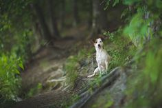 Jack Russell Isis Maria S. #Enchanted #Forest #Heavenly #pet #photography #dog #jackrussell