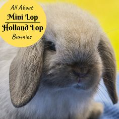 Holland Lop Bunnies, Mini Lop Bunnies, Mini Lop Rabbit, Cute Baby Bunnies, Cute Babies, Bunny Rabbits, Lop Eared Bunny, Cute Funny Animals, Pet Store