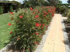Callistemon hedge
