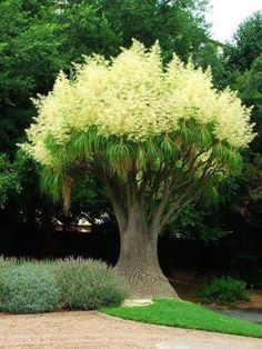 THIS IS CALLED A PONYTAIL PALM.