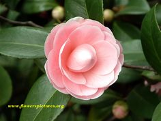 perfecly pink camellias...grew all around my house when I was young :) loved them in all their shades of color.