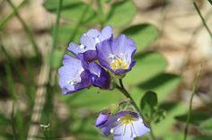 Polemonium californicum (low Jacob's-ladder)