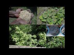 Medicinal Rice B4 Formulations for Painful thigh: Pankaj Oudhia's Medici...