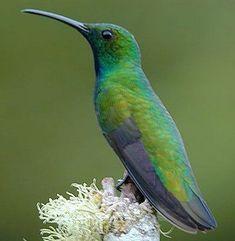 Green-breasted mango (male). Costa Rica.