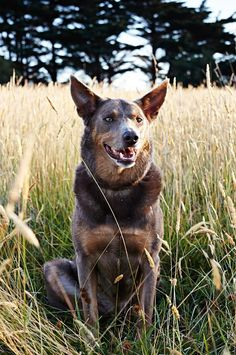 Australian kelpie named Cricket. Cricket has an unusual silver coat and loves to roam his family's private island just off the coast of Tasmania known as Satellite Island Palm Springs Style, Best Boutique Hotels, Dinosaur Design, Dogs And Puppies, Doggies, Tasmania, Beautiful Dogs, Country Life, Cricket