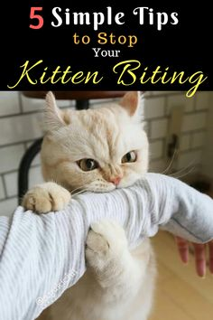 Don't let biting behavior become a bad habit. 5 Simple Tips to Stop Your Kit… Don't let biting behavior become a bad habit. 5 Simple Tips to Stop Your Kitten Biting. kitten biting stop. Kitten Biting, Canadian Cat, Training A Kitten, Purebred Cats, Hate Cats, Crazy Cats, Cat Care Tips, Pet Care, Pet Tips