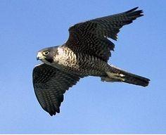 alcon Raptors, Peregrine Falcon, Birds Of Prey, Eagles, Bald Eagle, Wildlife, Owl, Mongolia, Biology