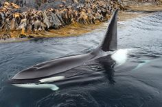 """marion-island-orcas: """" Poseidon (C134/M008) in 2013 Photo credit goes to """"Ethelwulf"""" on Deviantart """""""
