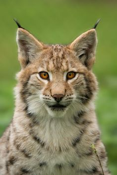 Young lynx The Effective Pictures We Offer You About Mammals tattoo A quality picture can tell you many things. Lynx Boréal, Eurasian Lynx, Animals And Pets, Baby Animals, Cute Animals, Animals Images, Wild Animals, Beautiful Cats, Animals Beautiful