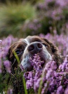 Springer Spaniel Dog burried amongst and smelling the Lavender I Love Dogs, Puppy Love, Cute Dogs, Cockerspaniel, San Bernardo, English Springer Spaniel, Spaniel Dog, Mans Best Friend, Dog Life