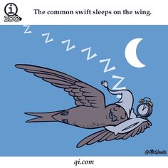 Click the photo to see the FUNNY MOVING GIF!! Weird And Fun Animal Facts for Kids. The common swift sleeps on the wing.