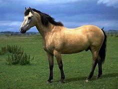 Buckskin horse my favorite