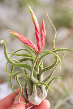 Amazing Unusual Plants To Grow In Your Garden Air Plants Care, Plant Care, Air Plant Display, Plant Decor, Succulent Gardening, Cacti And Succulents, Indoor Garden, Indoor Plants, Bulbous Plants