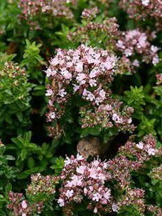 Origanum vulgare - 'Compacta Nana' | Oregano Get some from Annie's Annuals