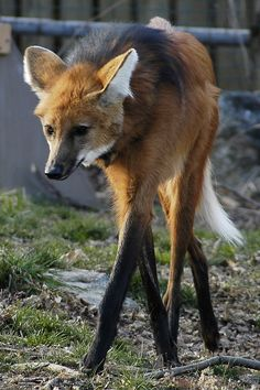 Maned Wolf - Chrysocyon brachyurus - Found in Central and East South America.