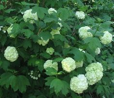 Viburnum shrub, blooms early spring, part shade. I have this shrub and keep forgetting the name of it! Provence Garden, Viburnum Opulus, Deer Resistant Plants, Plants, Flowering Shrubs, Shade Garden, Shrubs, Garden Plants, Flowering Vines
